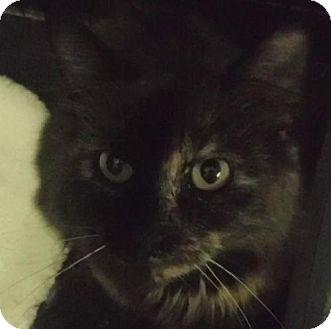 Domestic Shorthair Cat for adoption in Alturas, California - Cassandra
