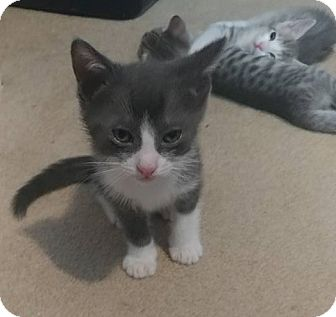 Domestic Shorthair Kitten for adoption in Mission Viejo, California - Apollo
