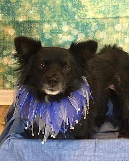 Pomeranian Dog for adoption in Dallas, Texas - Ryder