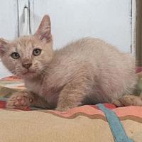Adopt A Pet :: Mikado - Glendale, AZ