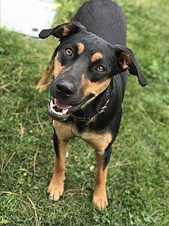Labrador Retriever/Rottweiler Mix Dog for adoption in Aurora, Colorado - Piper