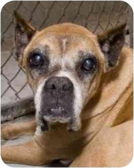 Boxer Mix Dog for adoption in Brunswick, Georgia - Aunt Bee
