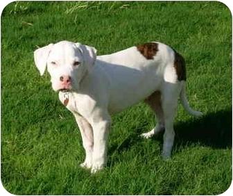 Boxer/American Bulldog Mix Puppy for adoption in Gilbert, Arizona - Mosby