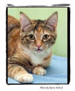 Calico Kitten for adoption in Warren, Pennsylvania - Sadie