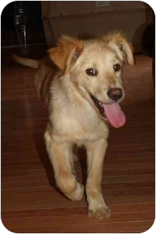 Golden Retriever/Spitz (Unknown Type, Large) Mix Puppy for adoption in Knoxville, Tennessee - Gabe