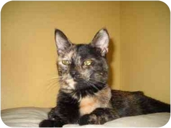 Domestic Shorthair Cat for adoption in Oak Lawn, Illinois - Mollie