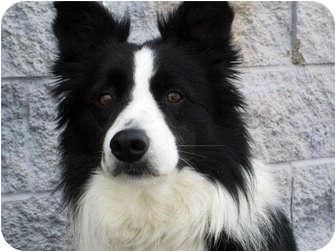Border Collie Dog for adoption in Glenrock, Wyoming - Mirk
