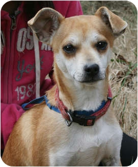 Whippet/Chihuahua Mix Dog for adoption in Plainfield, Connecticut - Newton (reduced fee $250)