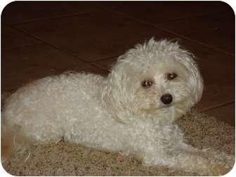 Maltese/Poodle (Miniature) Mix Dog for adoption in Arlington, Texas - Haley