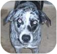 Australian Shepherd/Hound (Unknown Type) Mix Dog for adoption in Allentown, Pennsylvania - Blue Boy