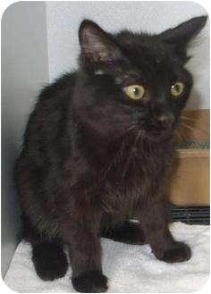 Domestic Mediumhair Cat for adoption in Mt. Vernon, Illinois - Riley