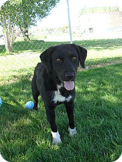 Labrador Retriever/Australian Cattle Dog Mix Dog for adoption in Jerome, Idaho - Reddick #5107