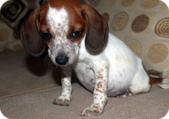 Beagle Mix Puppy for adoption in Brazil, Indiana - Phelps