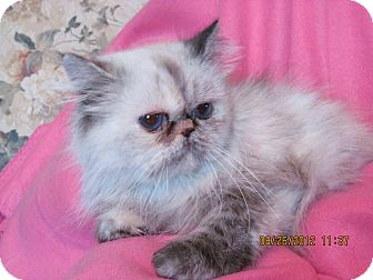 Himalayan Cat for adoption in Palestine, Illinois - Solar Flair
