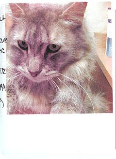 Domestic Mediumhair Cat for adoption in Fernley, Nevada - Hazel