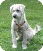 Bearded Collie/Wirehaired Fox Terrier Mix Dog for adoption in Foster, Rhode Island - Roscoe