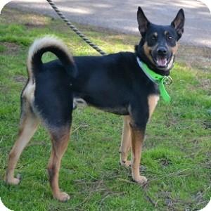 Canaan Dog Mix Dog for adoption in Athens, Georgia - Ranger