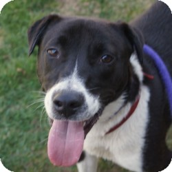 Border Collie/Labrador Retriever Mix Puppy for adoption in Eatontown, New Jersey - Diesel