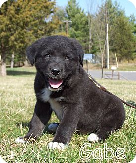 Great Pyrenees/Labrador Retriever Mix Puppy for adoption in Milford, New Jersey - Gabe