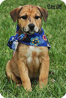 Australian Shepherd/Catahoula Leopard Dog Mix Puppy for adoption in Glastonbury, Connecticut - Emily