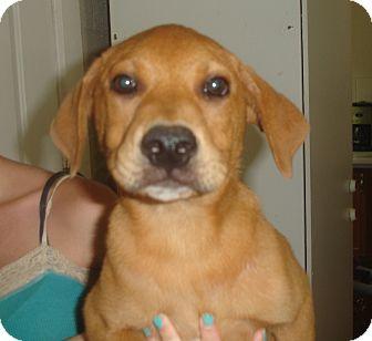 Labrador Retriever/German Shepherd Dog Mix Puppy for adoption in Old Bridge, New Jersey - Hobo