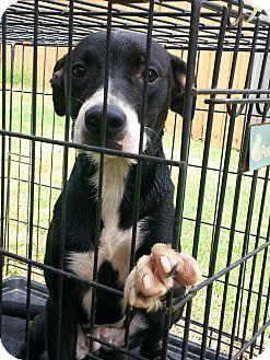 Terrier (Unknown Type, Medium)/Labrador Retriever Mix Puppy for adoption in Blanchard, Oklahoma - Roxy