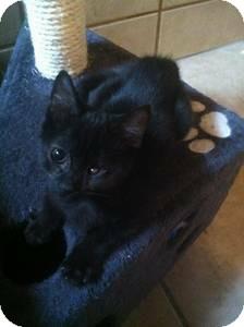 Domestic Shorthair Kitten for adoption in San Diego, California - Pumpkin
