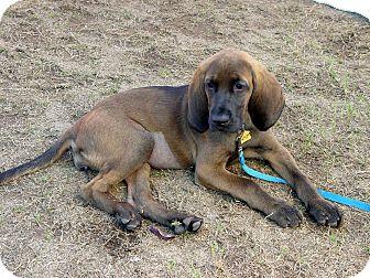 Bloodhound Mix Puppy for adoption in Austin, Texas - Abigail
