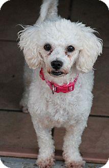Poodle (Miniature) Mix Dog for adoption in Yuba City, California - Febe (Fifi)