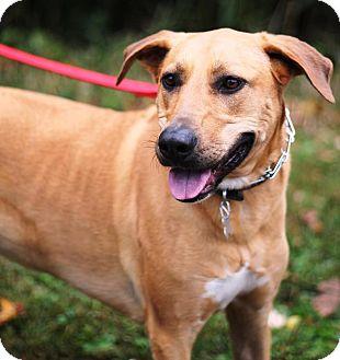 Rhodesian Ridgeback/Great Dane Mix Dog for adoption in East Hanover, New Jersey - Kiera