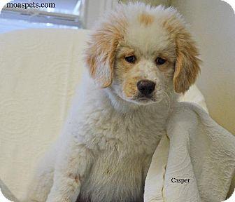 Great Pyrenees/St. Bernard Mix Puppy for adoption in Danielsville, Georgia - Casper