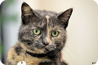 Domestic Shorthair Cat for adoption in Martinsville, Indiana - Rain Drop