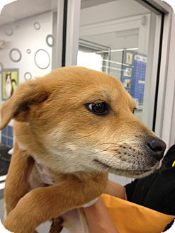 Shepherd (Unknown Type) Mix Puppy for adoption in Westminster, Colorado - Tanya