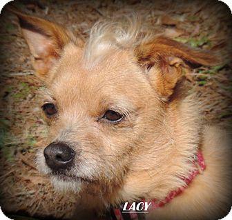 Schnauzer (Miniature)/Shih Tzu Mix Dog for adoption in Anderson, South Carolina - Miss Lacy
