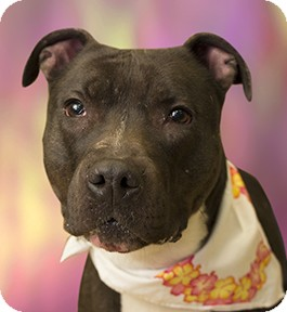 Pit Bull Terrier Mix Dog for adoption in Cincinnati, Ohio - Sammie