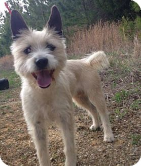 Cairn Terrier Dog for adoption in Goldens Bridge, New York - wendy