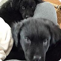 Adopt A Pet :: Bonnie - New Canaan, CT