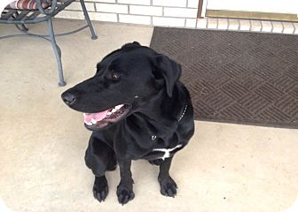 Labrador Retriever Dog for adoption in Weatherford, Texas - *GRACE*