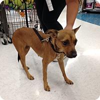 Adopt A Pet :: Starburst - Gilbert, AZ