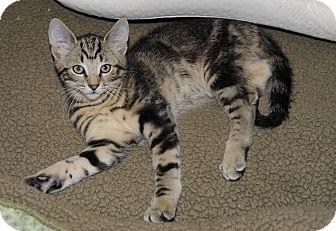 Domestic Shorthair Kitten for adoption in Plainville, Massachusetts - Carter 2