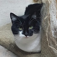 Domestic Shorthair Cat for adoption in Shelbyville, Kentucky - Lana