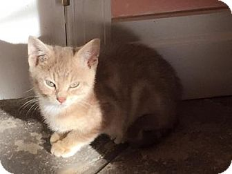Domestic Shorthair Kitten for adoption in East Hanover, New Jersey - Alvin and Theodore