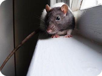 Rat for adoption in St. Paul, Minnesota - Nova