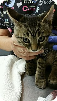 Domestic Shorthair Cat for adoption in Paducah, Kentucky - Ralph