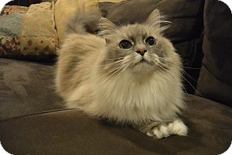 Domestic Longhair Cat for adoption in Cincinnati, Ohio - Figaro