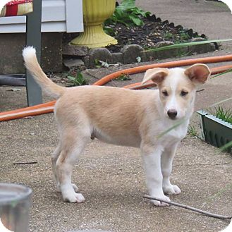 Collie Mix Puppy for adoption in Lanoka Harbor, New Jersey - KODY