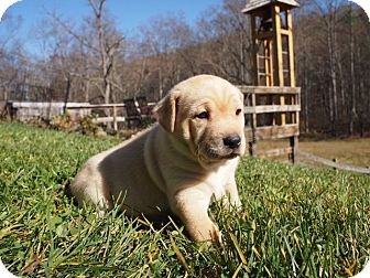 Shepherd (Unknown Type)/Husky Mix Puppy for adoption in Rockville, Maryland - Emmeline - PENDING  ADOPTION