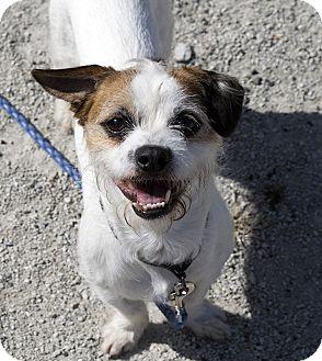 Jack Russell Terrier Mix Dog for adoption in Fremont, Nebraska - Carson