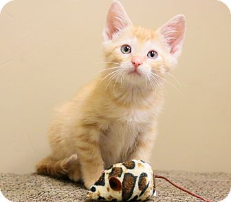 Domestic Shorthair Kitten for adoption in Chicago, Illinois - Pete