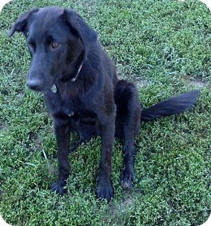 Labrador Retriever Mix Dog for adoption in St Louis, Missouri - Karmer